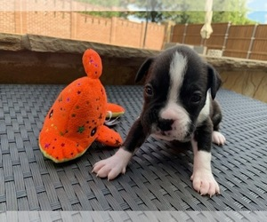 Boxer Puppy for Sale in PLANO, Texas USA