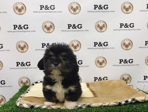 Mal-Shi Puppy For Sale in TEMPLE CITY, CA