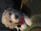 Poodle (Standard) Puppy For Sale in TAUNTON, MA, USA