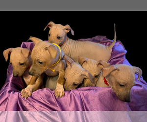 American Hairless Terrier Puppy for sale in WINCHENDON, MA, USA