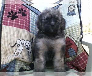 Bouvier Des Flandres-Poodle (Standard) Mix Puppy for Sale in LIMA, Ohio USA