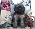Bouvier Des Flandres-Poodle (Standard) Mix Puppy For Sale in LIMA, OH, USA