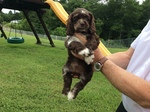 Cocker Spaniel Puppy For Sale in PATRICK SPRINGS, VA, USA