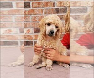 Poodle (Standard) Puppy for sale in MIDDLEBURG, FL, USA
