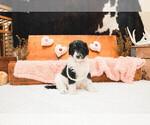 Puppy 7 Labradoodle