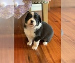 Small Photo #7 Australian Shepherd Puppy For Sale in OPELOUSAS, LA, USA