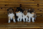 Collie Puppy For Sale in CARSON, ND, USA