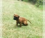 Small #7 Bullmastiff