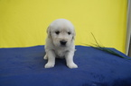 Golden Retriever Puppy For Sale in KENSINGTON, OH, USA
