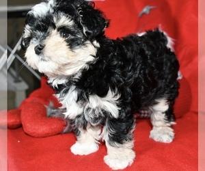 Morkie Puppy for sale in NEWCASTLE, WA, USA