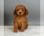 Puppy 7 Poodle (Miniature)