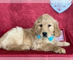 Small #2 Golden Retriever
