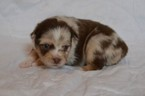 Miniature Australian Shepherd Puppy For Sale in AZLE, TX, USA