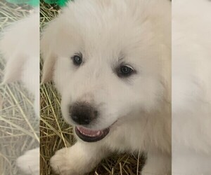 Great Pyrenees Puppy for Sale in MOUNT AIRY, North Carolina USA