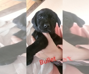 Labrador Retriever Puppy for sale in MANKATO, MN, USA
