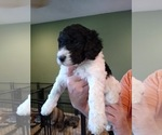 Small Photo #3 Poodle (Standard) Puppy For Sale in CAROLINA FOREST, SC, USA