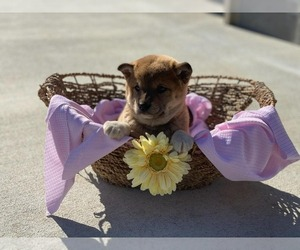 Shiba Inu Puppy for sale in CLARKRANGE, TN, USA