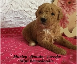 Bernedoodle-Poodle (Miniature) Mix Puppy for sale in CLARKRANGE, TN, USA