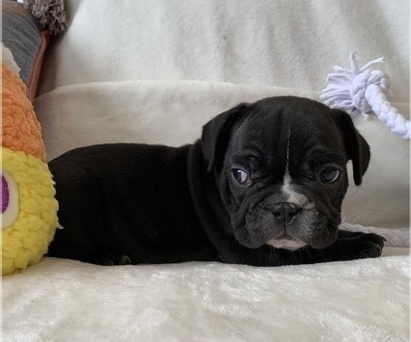 Medium Photo #6 French Bulldog Puppy For Sale in JOHNS ISLAND, SC, USA