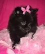Pomeranian Puppy For Sale in CLAY CITY, KY, USA