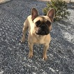 French Bulldog Puppy For Sale in QUARRYVILLE, PA, USA