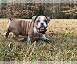 Small English Bulldog