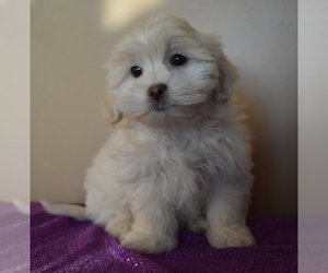 Mal-Shi Puppy for Sale in DOWNING, Missouri USA