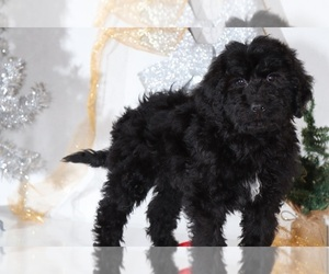 Bernedoodle Dog for Adoption in BEL AIR, Maryland USA