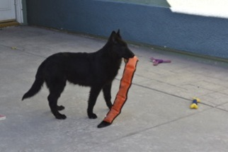 Belgian Sheepdog Puppy for sale in HOUSTON, TX, USA