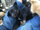 Chihuahua Puppy For Sale in DRUMMONDS, TN, USA