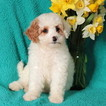 Cockapoo-Poodle (Miniature) Mix Puppy For Sale in GAP, PA, USA