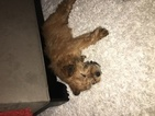 Soft Coated Wheaten Terrier Puppy For Sale in RICHFIELD, OH