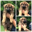 German Shepherd Dog Puppy For Sale in KITTS HILL, OH, USA