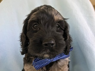 Cock-A-Poo Puppy For Sale in QUARRYVILLE, PA, USA