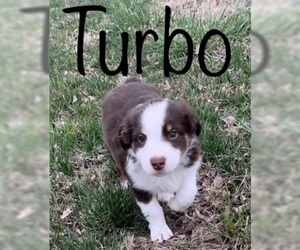 Miniature Australian Shepherd Puppy for Sale in STILLWATER, Oklahoma USA