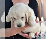 Puppy 3 English Cream Golden Retriever-Poodle (Miniature) Mix