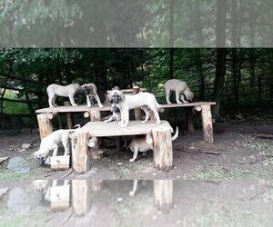 Kangal Dog Puppy for sale in East Garafraxa, Ontario, Canada