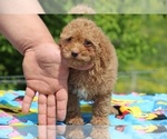 Small #35 Goldendoodle