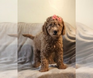 Goldendoodle Puppy for Sale in KENDALL, Florida USA