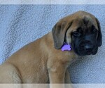 Puppy 11 Mastador-Mastiff Mix