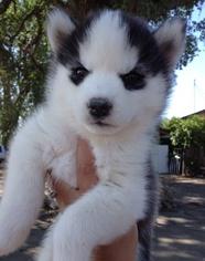 Siberian Husky Dog For Adoption in COLUMBUS, OH