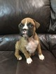 Boxer Puppy For Sale in CLAREMORE, OK