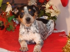 Australian Cattle Dog Puppy For Sale in CHICAGO, IL