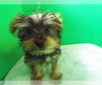 Puppy 8 Yorkshire Terrier