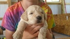 Goldendoodle Puppy For Sale in MARSHALL, VA