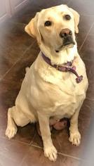 Labrador Retriever Puppy For Sale near 85339, Laveen, AZ, USA