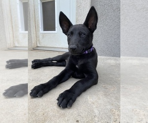 Belgian Malinois Puppy for Sale in JEROME, Idaho USA