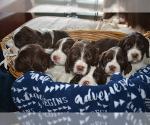 English Springer Spaniel Puppy for Sale in BUCKHANNON, West Virginia USA