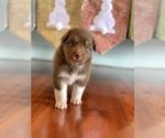 Small Photo #1 Australian Shepherd Puppy For Sale in OPELOUSAS, LA, USA