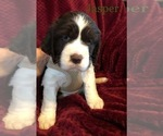 Puppy 4 English Springer Spaniel